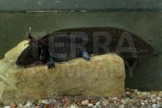 Ambystoma mexicanum 5