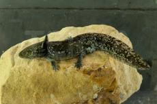 Ambystoma mexicanum 6